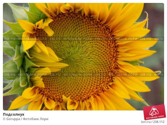 Подсолнух, фото № 238112, снято 28 июня 2007 г. (c) Goruppa / Фотобанк Лори