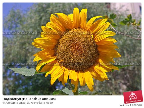 Купить «Подсолнух (Helianthus annuus)», эксклюзивное фото № 1929540, снято 22 июля 2010 г. (c) Алёшина Оксана / Фотобанк Лори