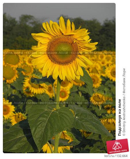 Купить «Подсолнух на поле», фото № 132664, снято 30 июля 2007 г. (c) Dmitriy Andrushchenko / Фотобанк Лори