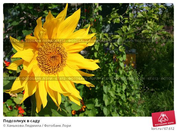 Купить «Подсолнух в саду», фото № 67612, снято 29 июля 2007 г. (c) Ханыкова Людмила / Фотобанк Лори