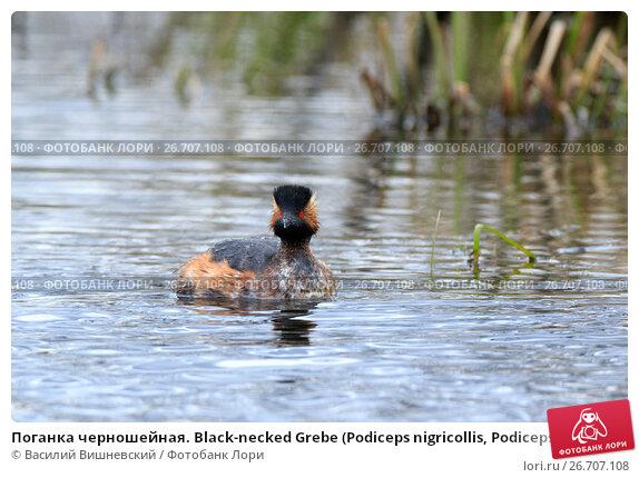 Купить «Поганка черношейная. Black-necked Grebe (Podiceps nigricollis, Podiceps caspicus).», фото № 26707108, снято 23 апреля 2017 г. (c) Василий Вишневский / Фотобанк Лори