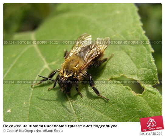 Купить «Похожее на шмеля насекомое грызет лист подсолнуха», фото № 30224, снято 3 сентября 2006 г. (c) Сергей Ксейдор / Фотобанк Лори