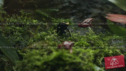 Poisonous red and black dart frogs. Стоковое видео, видеограф Данил Руденко / Фотобанк Лори