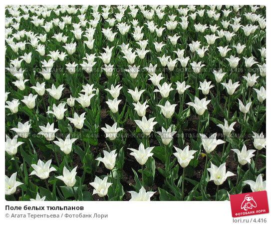 Поле белых тюльпанов, фото № 4416, снято 21 мая 2006 г. (c) Агата Терентьева / Фотобанк Лори