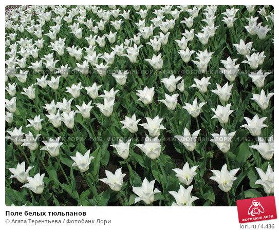 Купить «Поле белых тюльпанов», фото № 4436, снято 21 мая 2006 г. (c) Агата Терентьева / Фотобанк Лори
