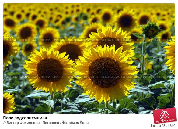 Купить «Поле подсолнечника», фото № 311340, снято 10 июля 2007 г. (c) Виктор Филиппович Погонцев / Фотобанк Лори