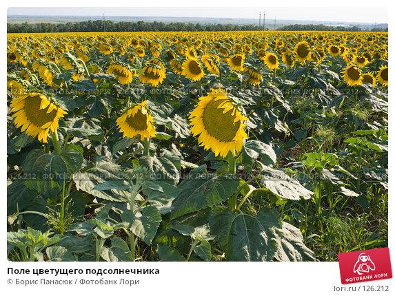 Поле цветущего подсолнечника, фото № 126212, снято 18 июля 2007 г. (c) Борис Панасюк / Фотобанк Лори