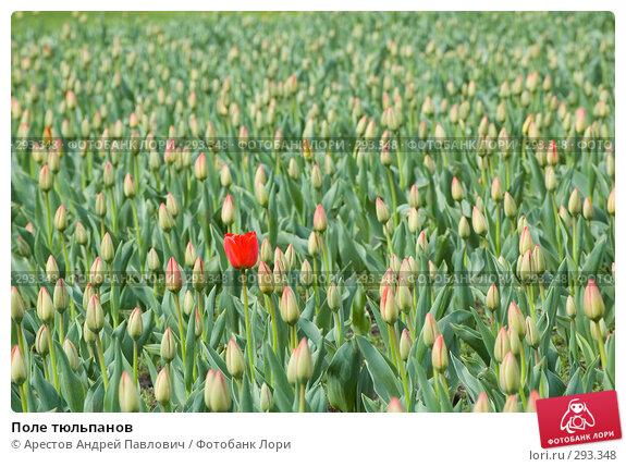 Поле тюльпанов, фото № 293348, снято 11 апреля 2008 г. (c) Арестов Андрей Павлович / Фотобанк Лори