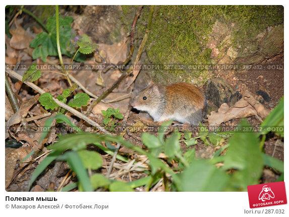 Полевая мышь, фото № 287032, снято 11 мая 2008 г. (c) Макаров Алексей / Фотобанк Лори