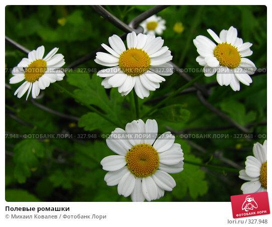 Полевые ромашки, фото № 327948, снято 16 июня 2008 г. (c) Михаил Ковалев / Фотобанк Лори