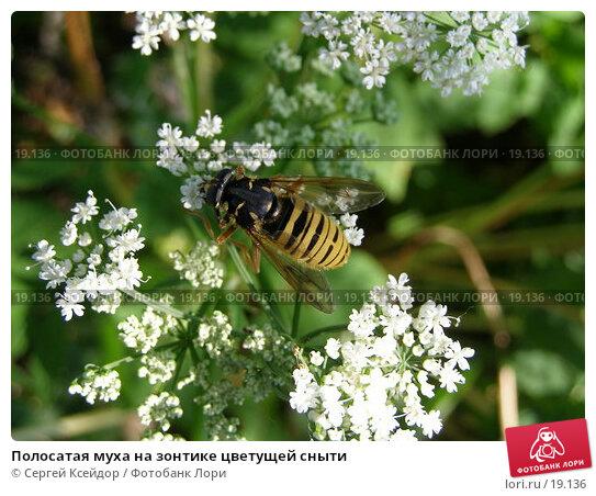 Купить «Полосатая муха на зонтике цветущей сныти», фото № 19136, снято 18 июня 2006 г. (c) Сергей Ксейдор / Фотобанк Лори