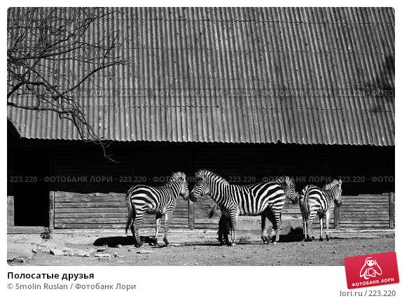 Купить «Полосатые друзья», фото № 223220, снято 29 апреля 2007 г. (c) Smolin Ruslan / Фотобанк Лори