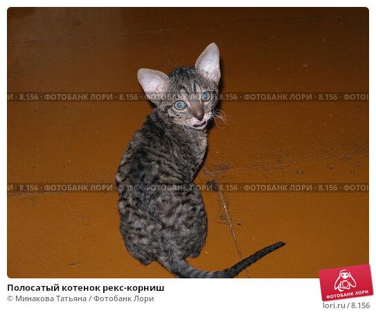 Полосатый котенок рекс-корниш, фото № 8156, снято 20 августа 2006 г. (c) Минакова Татьяна / Фотобанк Лори