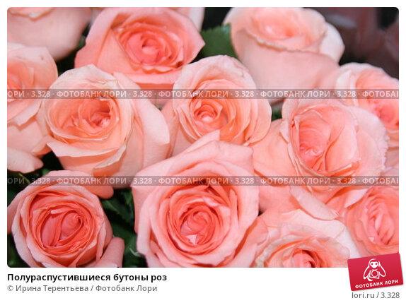 Полураспустившиеся бутоны роз, эксклюзивное фото № 3328, снято 30 апреля 2006 г. (c) Ирина Терентьева / Фотобанк Лори