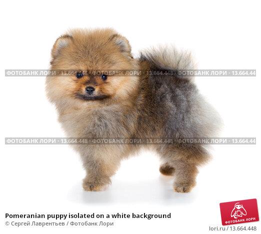 Купить «Pomeranian puppy isolated on a white background», фото № 13664448, снято 23 ноября 2015 г. (c) Сергей Лаврентьев / Фотобанк Лори