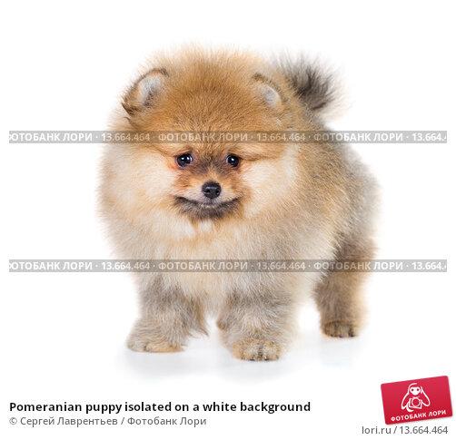 Купить «Pomeranian puppy isolated on a white background», фото № 13664464, снято 23 ноября 2015 г. (c) Сергей Лаврентьев / Фотобанк Лори