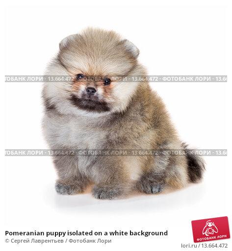 Купить «Pomeranian puppy isolated on a white background», фото № 13664472, снято 23 ноября 2015 г. (c) Сергей Лаврентьев / Фотобанк Лори