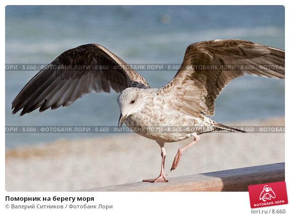 Поморник на берегу моря , фото № 8660, снято 20 октября 2005 г. (c) Валерий Ситников / Фотобанк Лори