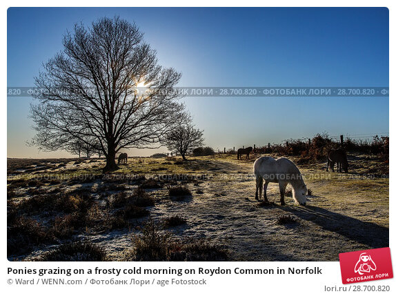 Купить «Ponies grazing on a frosty cold morning on Roydon Common in Norfolk Featuring: Atmosphere Where: Norfolk, United Kingdom When: 29 Dec 2016 Credit: Ward/WENN.com», фото № 28700820, снято 29 декабря 2016 г. (c) age Fotostock / Фотобанк Лори