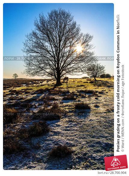 Купить «Ponies grazing on a frosty cold morning on Roydon Common in Norfolk Featuring: Atmosphere Where: Norfolk, United Kingdom When: 29 Dec 2016 Credit: Ward/WENN.com», фото № 28700904, снято 29 декабря 2016 г. (c) age Fotostock / Фотобанк Лори