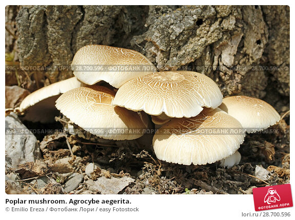 Купить «Poplar mushroom. Agrocybe aegerita.», фото № 28700596, снято 5 мая 2018 г. (c) easy Fotostock / Фотобанк Лори