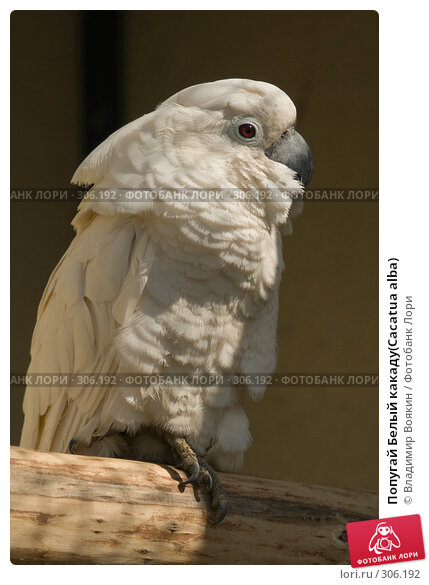 Попугай Белый какаду(Cacatua alba), фото № 306192, снято 17 мая 2008 г. (c) Владимир Воякин / Фотобанк Лори