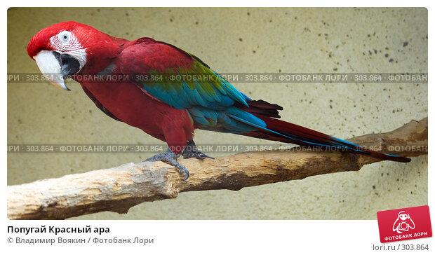 Попугай Красный ара, фото № 303864, снято 17 мая 2008 г. (c) Владимир Воякин / Фотобанк Лори