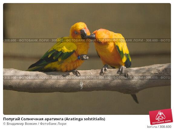 Попугай Солнечная аратинга (Aratinga solstitialis), фото № 308600, снято 17 мая 2008 г. (c) Владимир Воякин / Фотобанк Лори