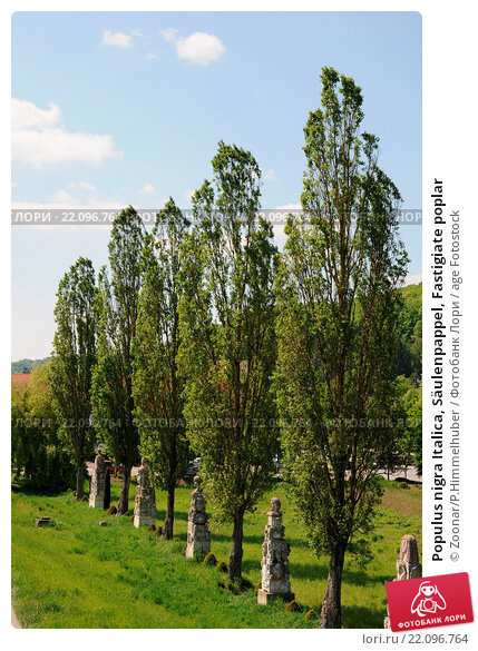 Купить «Populus nigra Italica, Säulenpappel, Fastigiate poplar», фото № 22096764, снято 20 марта 2019 г. (c) age Fotostock / Фотобанк Лори