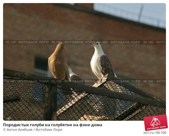 Купить «Породистые голуби на голубятне на фоне дома», фото № 96100, снято 2 октября 2007 г. (c) Антон Алябьев / Фотобанк Лори