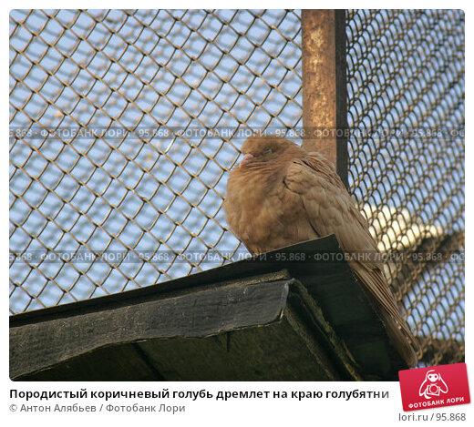 Породистый коричневый голубь дремлет на краю голубятни, фото № 95868, снято 2 октября 2007 г. (c) Антон Алябьев / Фотобанк Лори