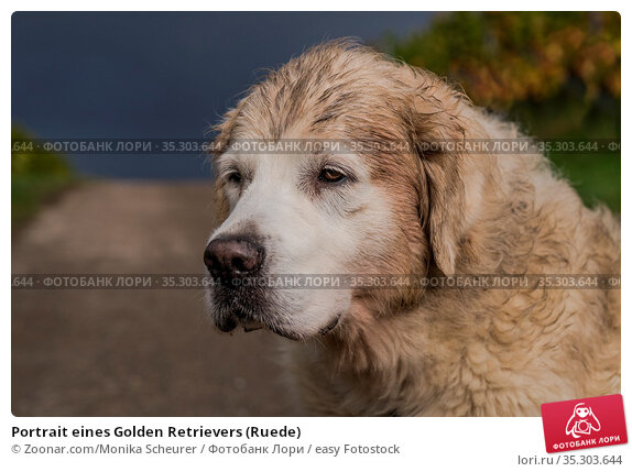 Portrait eines Golden Retrievers (Ruede) Стоковое фото, фотограф Zoonar.com/Monika Scheurer / easy Fotostock / Фотобанк Лори