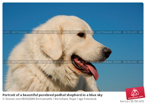 Portrait of a beautiful purebred podhal shepherd in a blue sky. Стоковое фото, фотограф Zoonar.com/BONZAMI Emmanuelle / age Fotostock / Фотобанк Лори