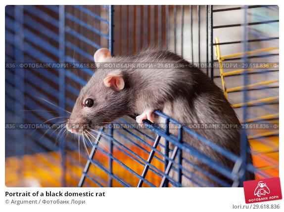 Купить «Portrait of a black domestic rat», фото № 29618836, снято 9 мая 2011 г. (c) Argument / Фотобанк Лори