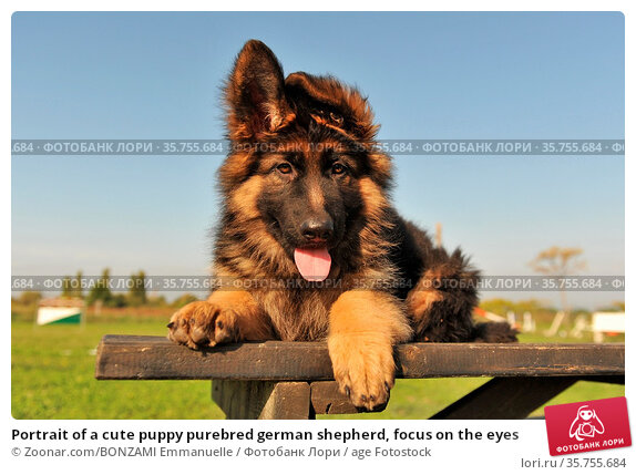 Portrait of a cute puppy purebred german shepherd, focus on the eyes. Стоковое фото, фотограф Zoonar.com/BONZAMI Emmanuelle / age Fotostock / Фотобанк Лори