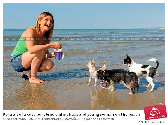 Portrait of a cute purebred chihuahuas and young woman on the beach. Стоковое фото, фотограф Zoonar.com/BONZAMI Emmanuelle / age Fotostock / Фотобанк Лори