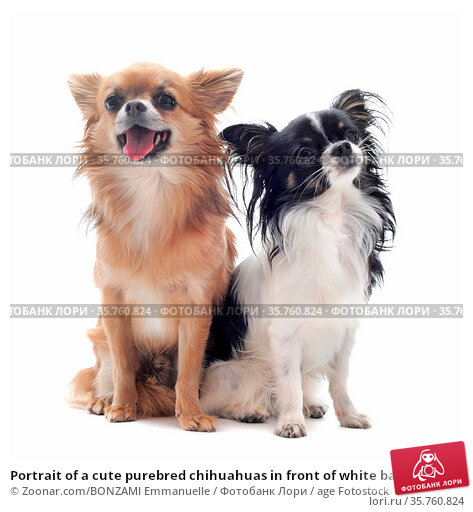 Portrait of a cute purebred chihuahuas in front of white background. Стоковое фото, фотограф Zoonar.com/BONZAMI Emmanuelle / age Fotostock / Фотобанк Лори