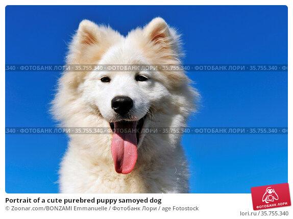 Portrait of a cute purebred puppy samoyed dog. Стоковое фото, фотограф Zoonar.com/BONZAMI Emmanuelle / age Fotostock / Фотобанк Лори