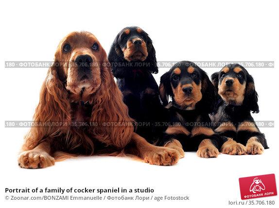 Portrait of a family of cocker spaniel in a studio. Стоковое фото, фотограф Zoonar.com/BONZAMI Emmanuelle / age Fotostock / Фотобанк Лори