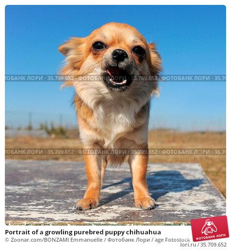 Portrait of a growling purebred puppy chihuahua. Стоковое фото, фотограф Zoonar.com/BONZAMI Emmanuelle / age Fotostock / Фотобанк Лори