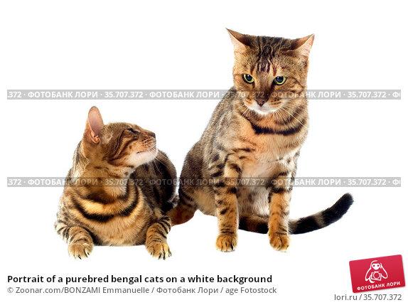 Portrait of a purebred bengal cats on a white background. Стоковое фото, фотограф Zoonar.com/BONZAMI Emmanuelle / age Fotostock / Фотобанк Лори