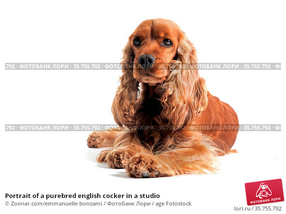 Portrait of a purebred english cocker in a studio. Стоковое фото, фотограф Zoonar.com/emmanuelle bonzami / age Fotostock / Фотобанк Лори