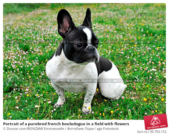 Portrait of a purebred french bouledogue in a field with flowers. Стоковое фото, фотограф Zoonar.com/BONZAMI Emmanuelle / age Fotostock / Фотобанк Лори