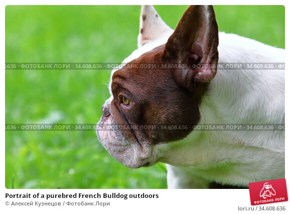 Portrait of a purebred French Bulldog outdoors. Стоковое фото, фотограф Алексей Кузнецов / Фотобанк Лори