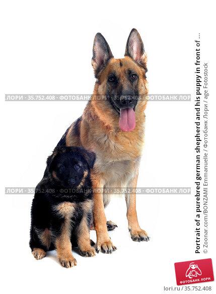 Portrait of a purebred german shepherd and his puppy in front of ... Стоковое фото, фотограф Zoonar.com/BONZAMI Emmanuelle / age Fotostock / Фотобанк Лори
