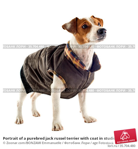 Portrait of a purebred jack russel terrier with coat in studio. Стоковое фото, фотограф Zoonar.com/BONZAMI Emmanuelle / age Fotostock / Фотобанк Лори
