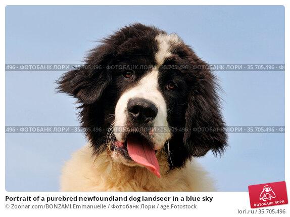 Portrait of a purebred newfoundland dog landseer in a blue sky. Стоковое фото, фотограф Zoonar.com/BONZAMI Emmanuelle / age Fotostock / Фотобанк Лори