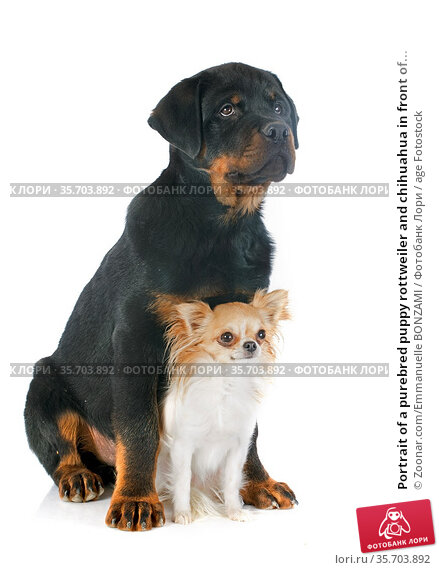 Portrait of a purebred puppy rottweiler and chihuahua in front of... Стоковое фото, фотограф Zoonar.com/Emmanuelle BONZAMI / age Fotostock / Фотобанк Лори