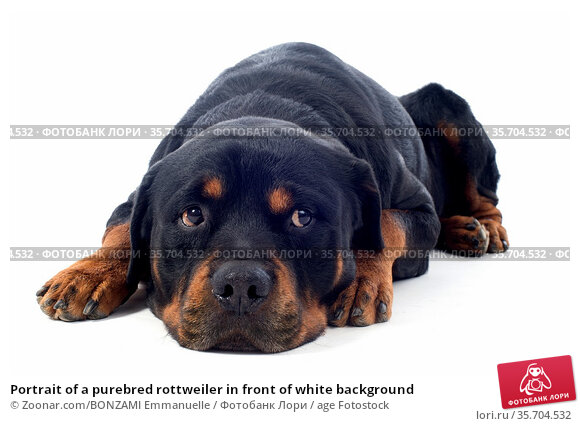 Portrait of a purebred rottweiler in front of white background. Стоковое фото, фотограф Zoonar.com/BONZAMI Emmanuelle / age Fotostock / Фотобанк Лори