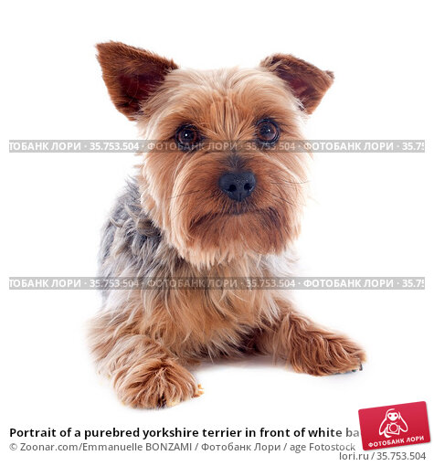 Portrait of a purebred yorkshire terrier in front of white background. Стоковое фото, фотограф Zoonar.com/Emmanuelle BONZAMI / age Fotostock / Фотобанк Лори